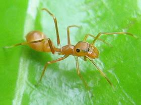 Myrmarachne_plataleoides_female_thailand%5B1%5D.jpg