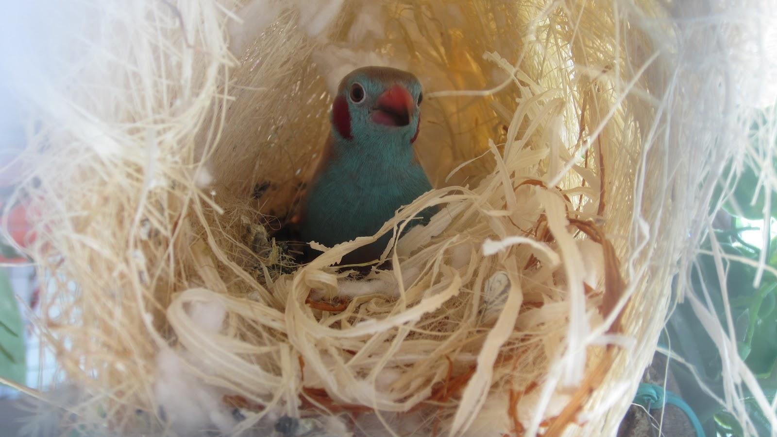 Cordon bleu finch nest - photo#22