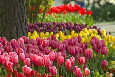 [imagetag] kebun tulip [DuniaQ Duniamu]