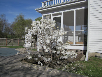 Star Magnolia in Bloom!