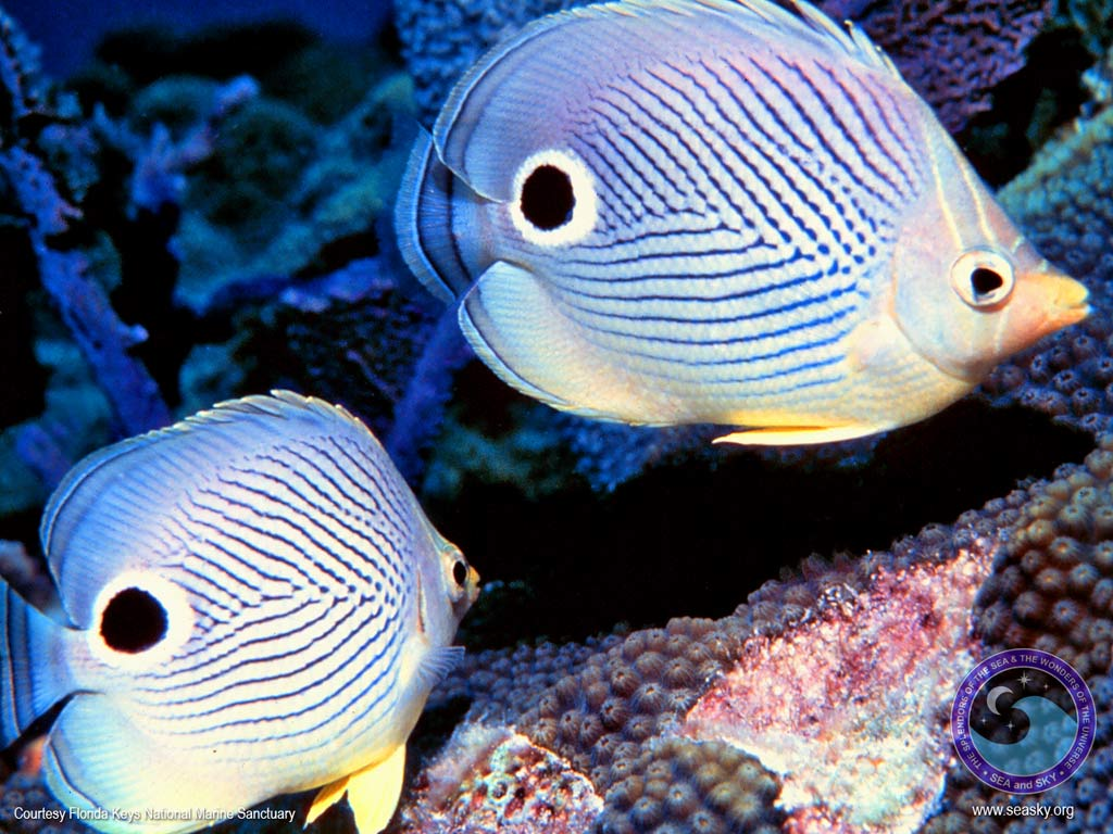 Butterfly fish for Fish fish fish fish fish