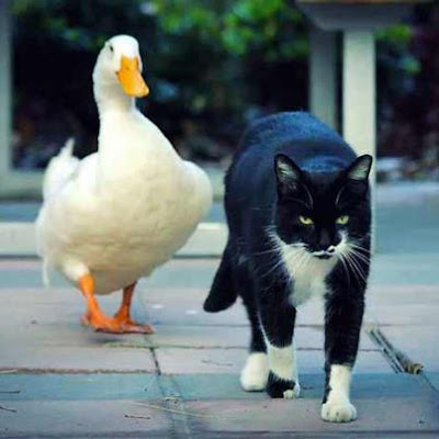 Persahabatan seekor kucing dan bebek mentok di Mexico