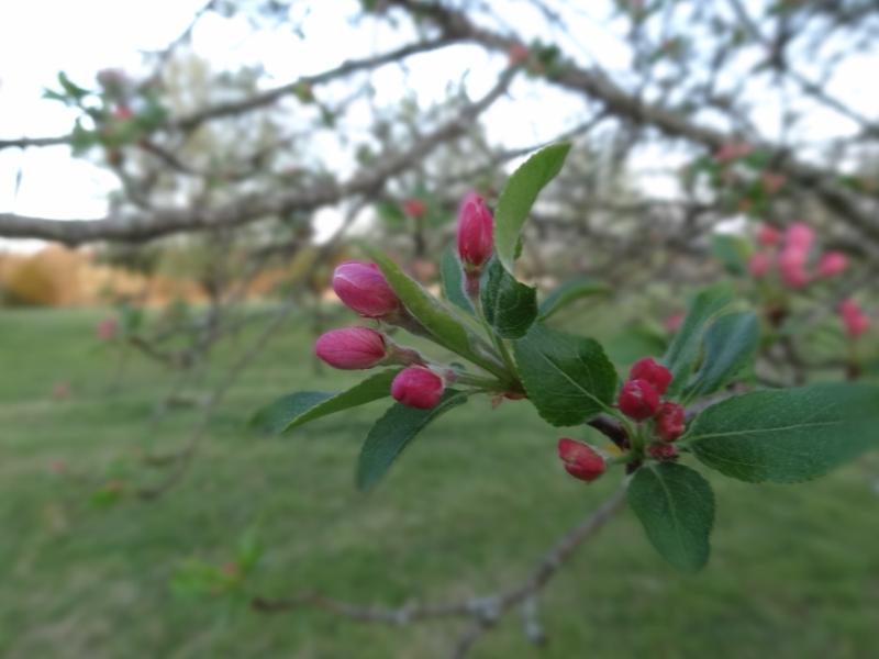 apple, tree, earthday, gardening,