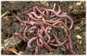 Lombricultura con residuos del cultivo de Aloe vera