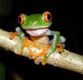 Karen-Bog Frog