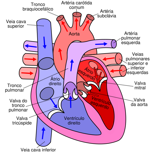 The actual human heart on anatomypicture blogspot com with click the