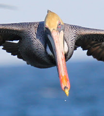 I flew with this pelican! photo by Jeff Byrd