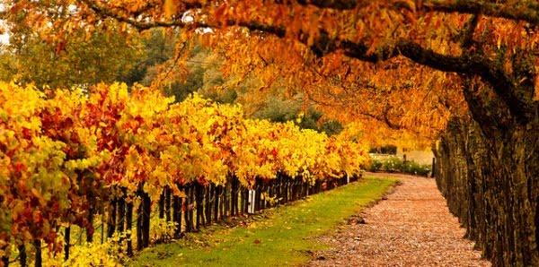 Napa Fall Colors!