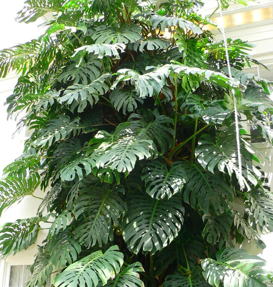 Plantas para jardines verticales monstera deliciosa for Plantas utilizadas en jardines verticales