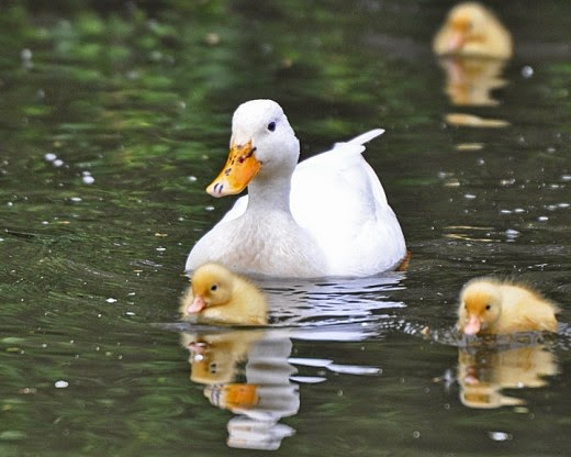 white mallard duck with ducklings