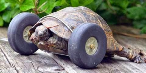 Kura-kura Berkecepatan Super