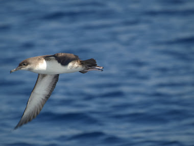 Balearic Shearwater