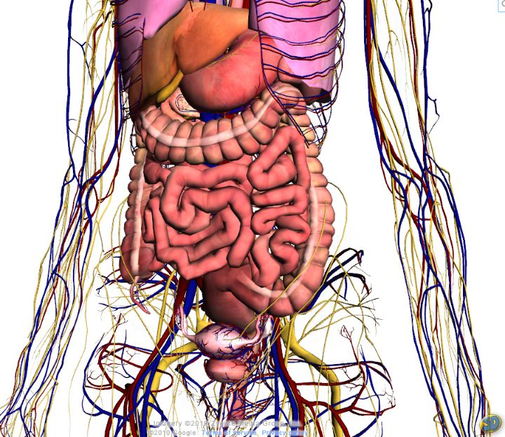 Foto corpo humano interno 13
