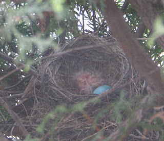 Robin nest - with one small baby in!