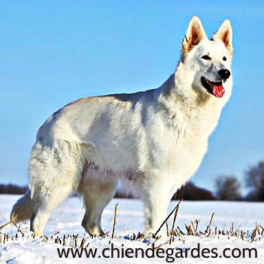 Races de chiens berger