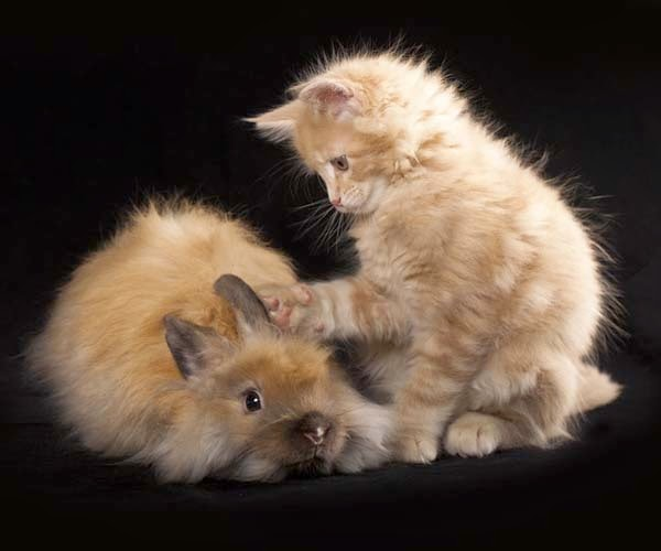 Here Are 24 Awesome Things You Didn't Know About Animals. #11 Just Made My Week. - Here are two kittens (baby rabbits are