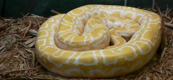 Albino Burmese Python, dt. Tiegerpython Florida