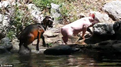 little goad climbing a rock nearby river followed by a pig