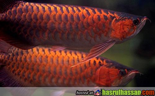 Ikan Kelisa Emas Pramong Nomjam Thai Tuala