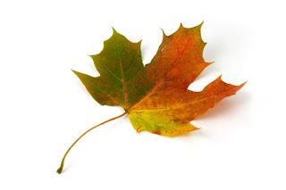 folha símbolo do canadá