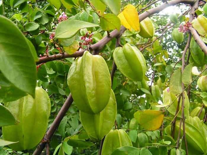 Karambola və ya ulduz meyvəsi
