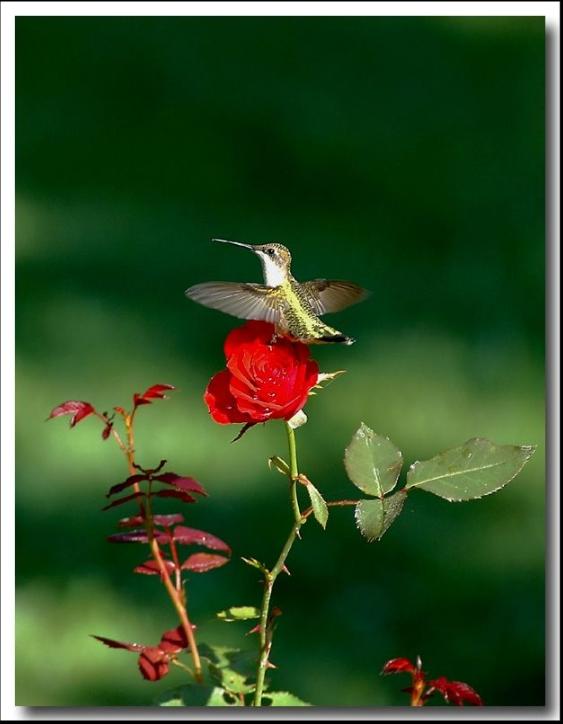 rosas no jardim de deus : rosas no jardim de deus:CoNSTRuiR: O Beija- Flor