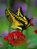 http://www.public-domain-image.com/fauna-animals-public-domain-images-pictures/insects-and-bugs-public-domain-images-pictures/butterflies-and-moths-pictures/butterfly-butterflies-wings.jpg.html