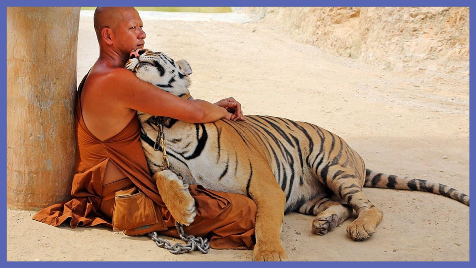 Buddhist Monks And The Tiger Temple Of Kanchanaburi