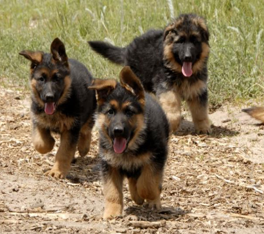 German Shepherd Lion Cut German shepherd puppies