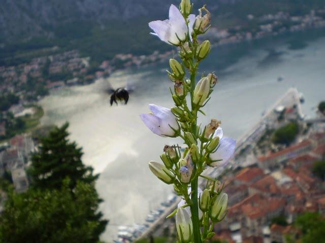 Цветок и Пчела в Черногории
