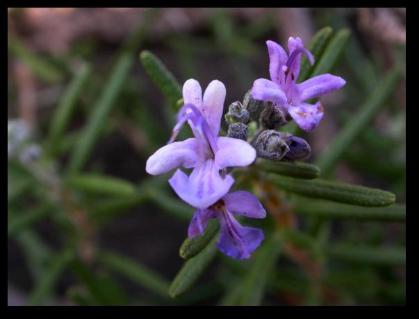 Rozmarinul (Rosmarinus officinalis)