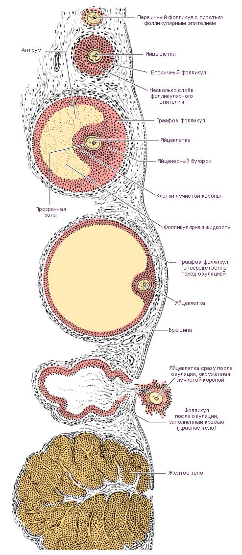 Клиторальный оргазм вырабатывается при нем прогестерон