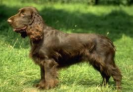 Giống chó Spaniel