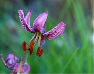 Marcòlic vermell (Lilium martagon)