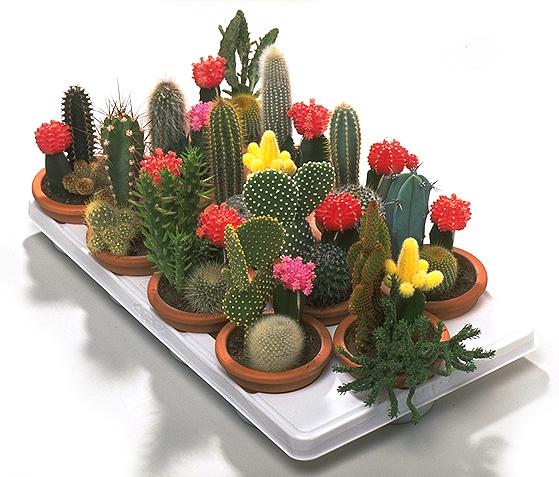 Una de rizos cactus for Clases de cactus