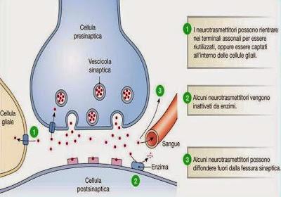 neurotrasmettitori, ciclo vitale
