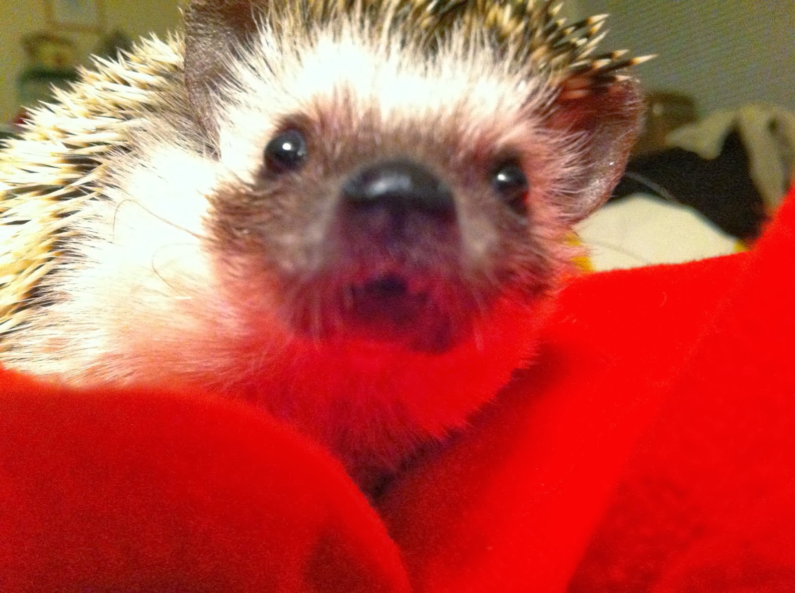 Funny animals of the week - 28 February 2014 (40 pics), close up hedgehog