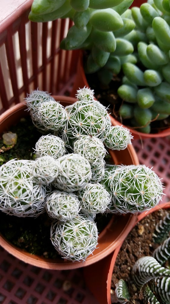 Kaktus Selirat