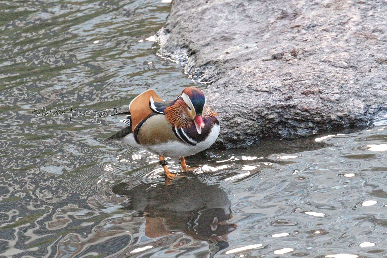 LEARN ABOUT NYC's MANDARIN DUCK