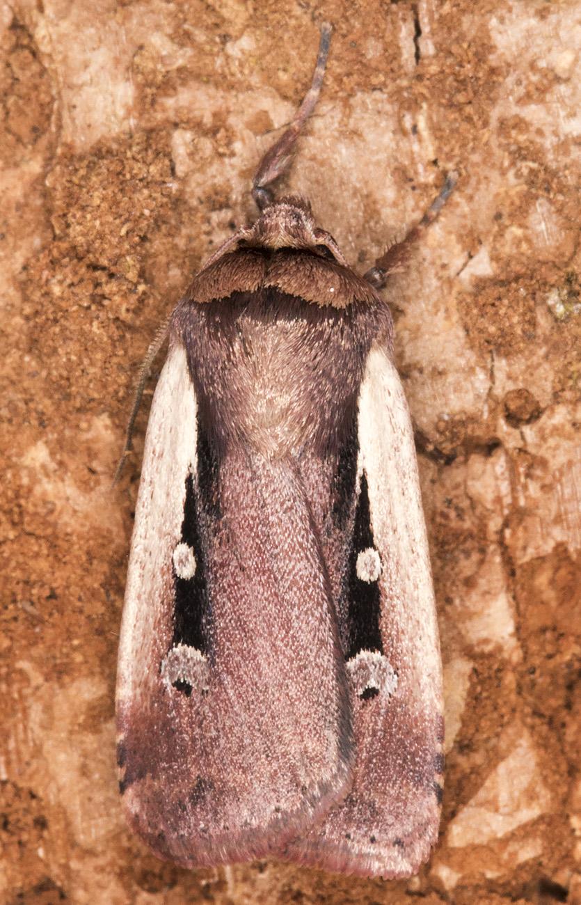 Flame Shoulder, Ochropleura plecta. Hayes, 29 April 2015