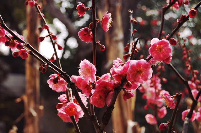 yu garden-shanghai-chine-vieille ville chinoise-fleurs-cerisiers-roses-jardin-zen