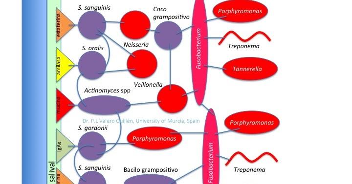 Las lamblias sobre el hígado los síntomas el tratamiento