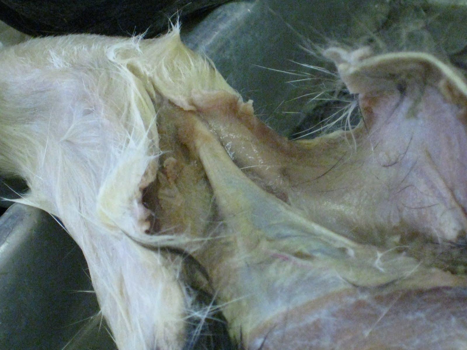 Kitty Cadaver: Cat Muscles - calcaneal tendon (\