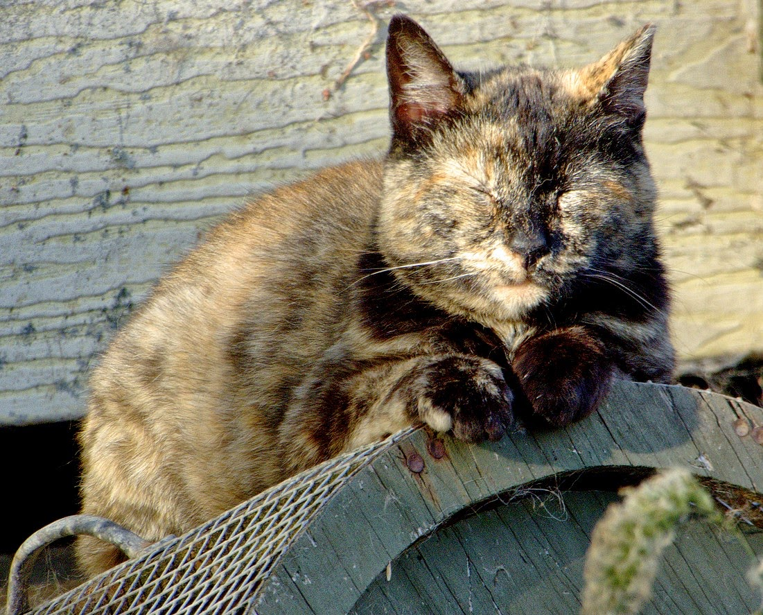 Old Tortie feral cat, taking a nap