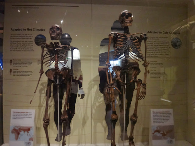 Different body sizes for Human skeleton between hot and cold climates at National History Museum in Washington DC, USA