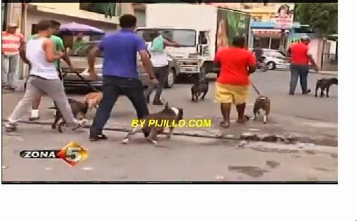 (Pitbull) Preocupa A Dominicanos por Peleas Y Agresividad De Los Perros