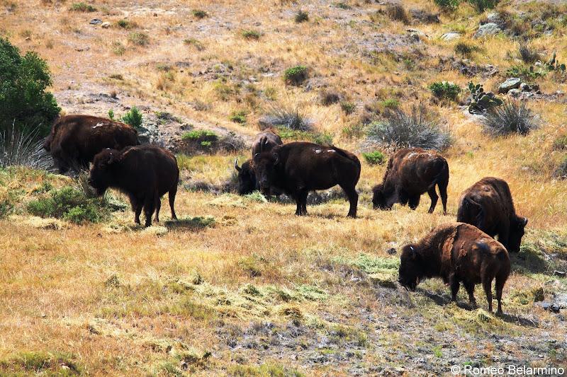 Santa Catalina Island Bison Herd