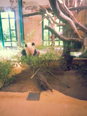 viyana-schonbrunn-sarayi-hayvanat-bahcesi-panda
