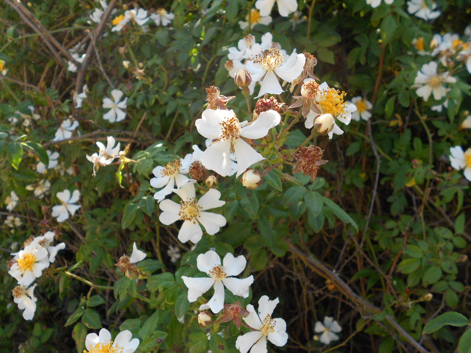 Arbusti e piante rosa selvatica bianca rosa canina for Fiori bianchi profumati
