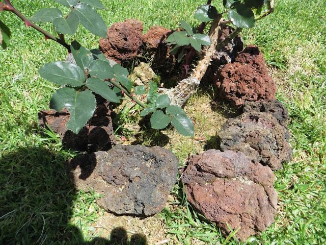 Fotografia macro de Tronco de Roseira com espinhos em jardim de pedra pomes ou pedra de lava